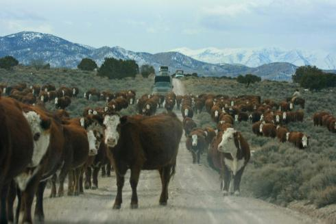 Cattle arriving after wild horses rounded up — 2011 Antelope Valley (photo: Terry Fitch)