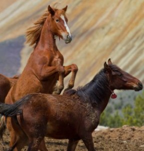 Corralled wild horses rounded up by the BLM, Salt Lake City, Utah. Photo: Jim Urquhart.