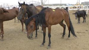horses at export pen